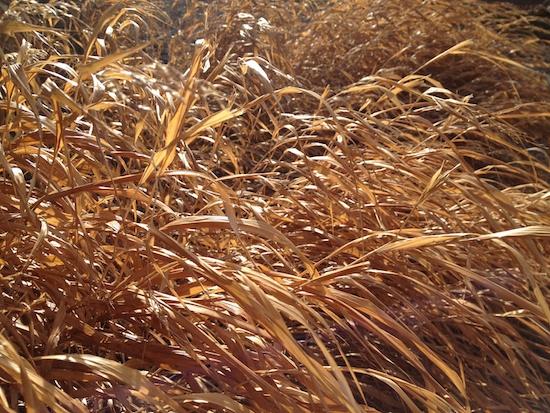 Japanese forest grass (Hakonechloa spp.). Photo by Naomi Sachs