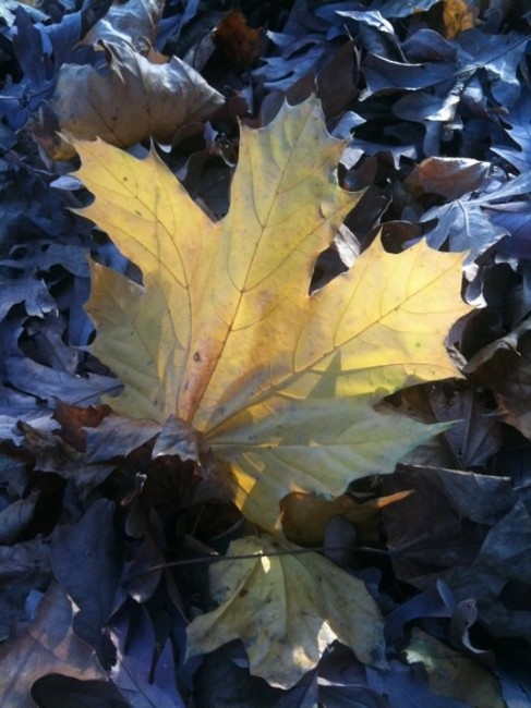 Winter maple leaf. Photo by Naomi Sachs