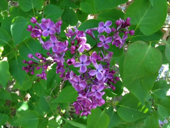 April lilac. Photo by Naomi Sachs