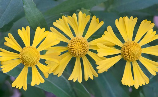 Sneezeweed. Photo by Henry Domke, http://henrydomke.com