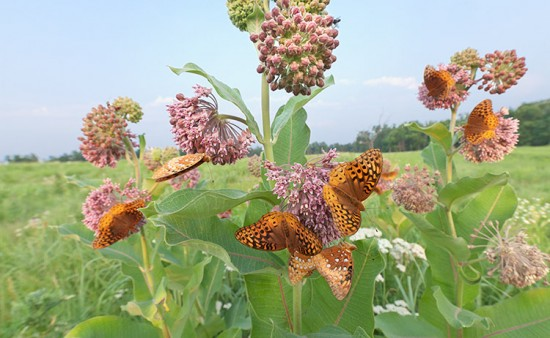 Great Spangled Fritillaries. Photo by Henry Domke, http://www.henrydomke.com