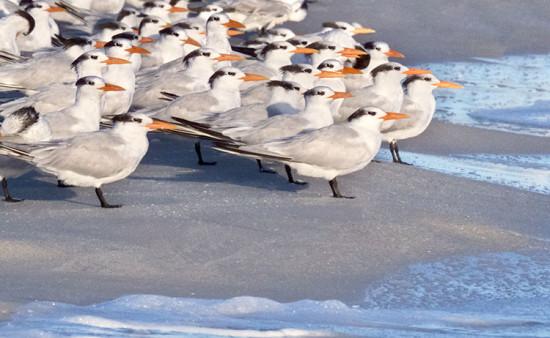 Royal Terns by Henry Domke