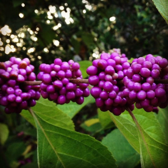Callicarpa (beautyberry)