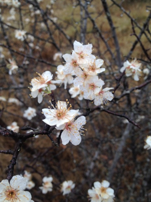 Chicksaw plum (Prunus angustifolia). Photo by Naomi Sachs