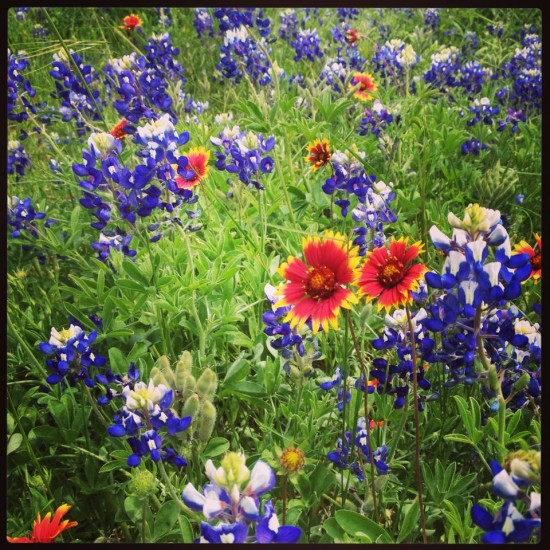 TX wildflowers. By Naomi Sachs