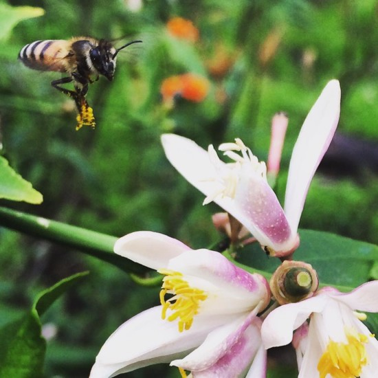 Wild honeybee and lemon blossoms. Photo by Naomi Sachs