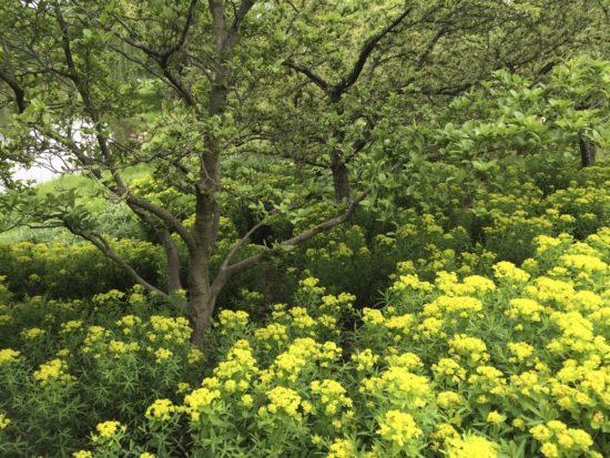 Euphorbia at Chicago Botanic Garden. Photo by Naomi Sachs