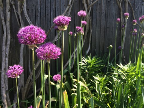 Alliums. Photo by Naomi Sachs