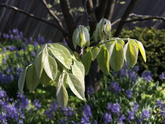 New soft leaves. Photo by Naomi Sachs.