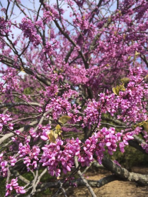Cercis canadensis (redbud). Photo by Naomi Sachs