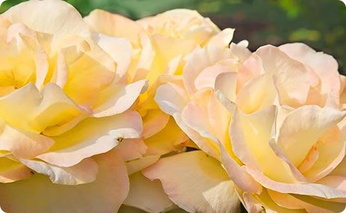 Rose_hdfa