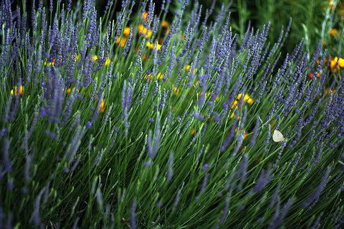 lavender_code poet